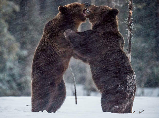 Забытая медицина из добытого медведя