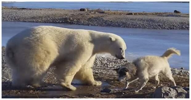 Пожалуй, самое милое видео на свете: белый медведь гладит собаку по голове  видео, дружба, животные, медведь, милота, собака