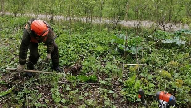 В Подмосковье обработали свыше 40% земель от борщевика