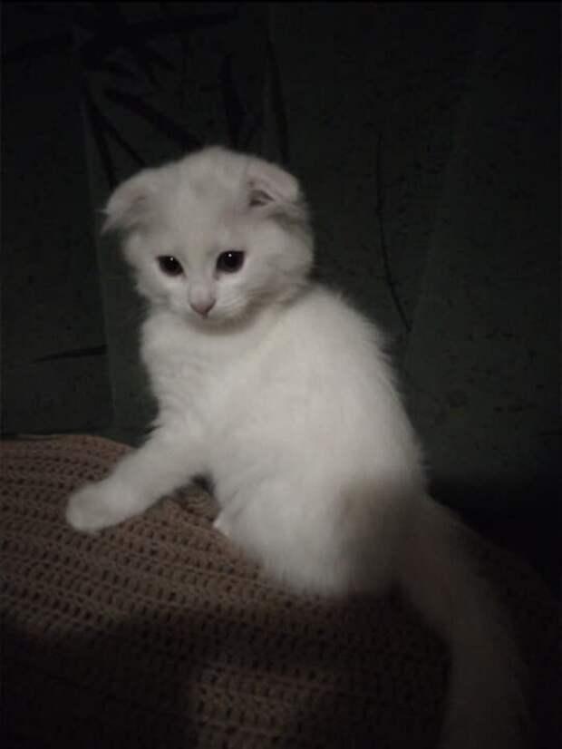 Белый вислоухий котёнок продавался на рынке за сто рублей, я даже не рассчитывала, что из него вырастит такой красивый кот