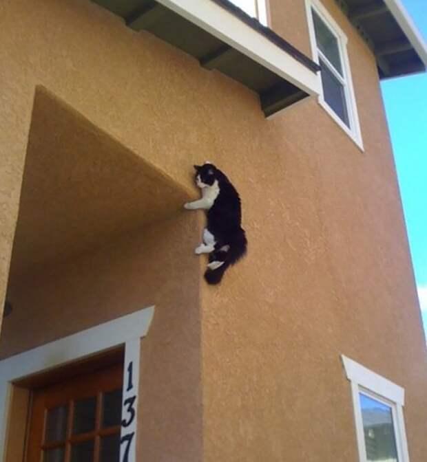 Кот-паук весело, коты, повадки, смешно, эмоции