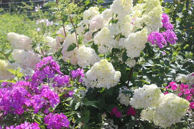 Сезон  гортензий  в моем саду.