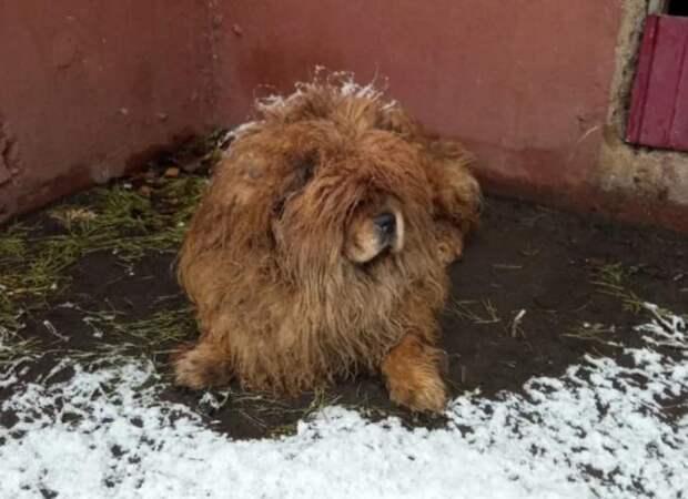 Плюшевый медвежонок чау-чау месяц бродил по заснеженным улицам в поисках хозяина