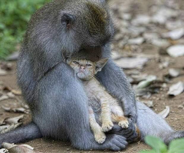 Обезьяна усыновила маленького котенка