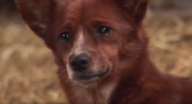 Увидев, что хозяева уводят его подругу, пес плакал и отчаянно лаял