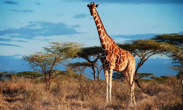 Животное жираф – самое высокое животное.