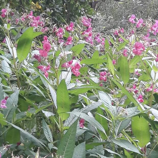 Розовый бальзамин зацвёл в парке «Северное Тушино»