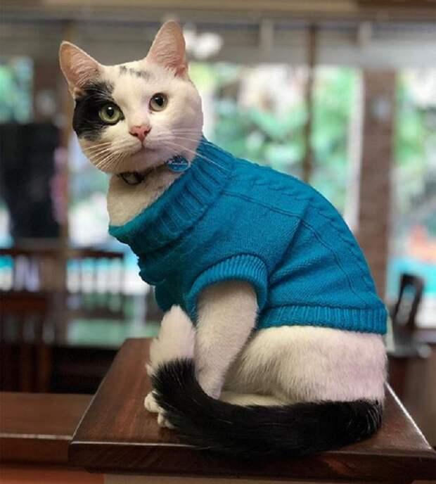 Кот в жилетке