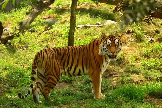 5 удивительных фактов о тигре - величайшем хищнике на планете