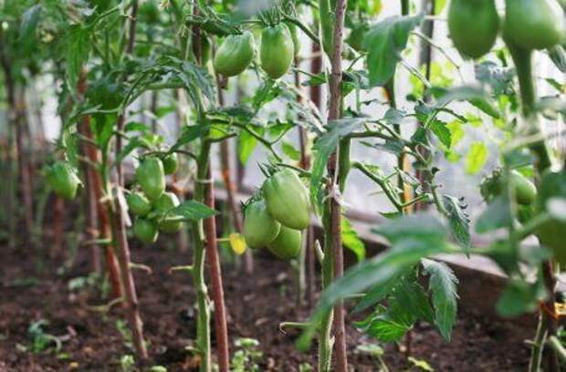 Почему трескаются томаты, и как этого избежать