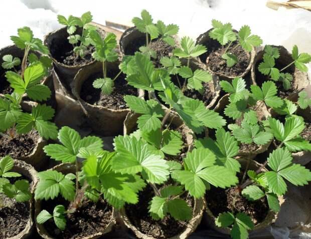В снегу и «таблетках». Два способа вырастить рассаду клубники из семян