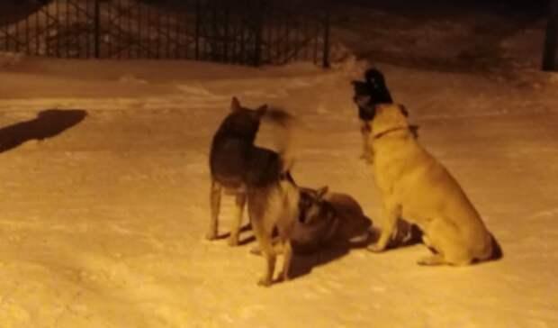 Число заявок на отлов собак выросло вНижнем Тагиле ипригороде