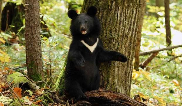 Гималайский медведь описание и фото