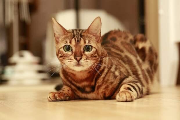 Бенгалы оказались в числе самых популярных пород кошек у россиян