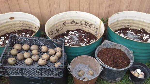 Посадка картофеля в бочки. Фото пользователя Екимкина Надежда