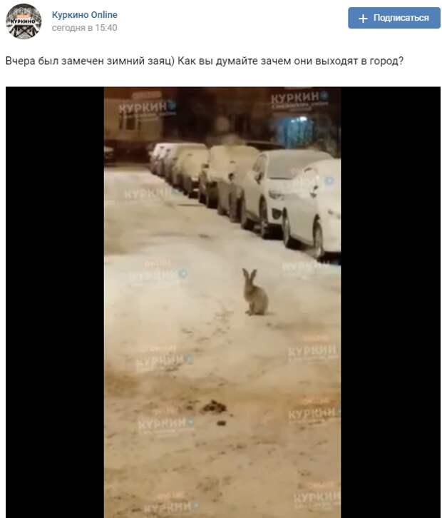 Зайцы вновь прискакали в Куркино