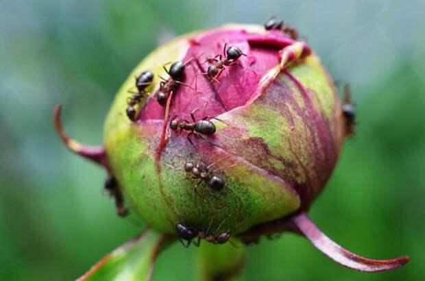 Муравьи на огороде как от них избавиться народными средствами
