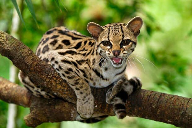 10 классных диких кошек, о которых мало кто знает дикие кошки, животные, кошки, природа