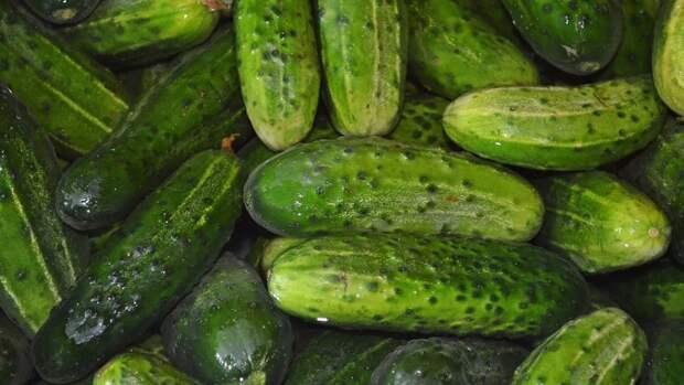 Дачникам дали советы по выращиванию вкусных огурцов