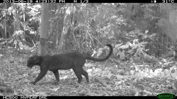 У черных леопардов есть уникальный рисунок на шкуре. Но мы его не видим   животные, интересное
