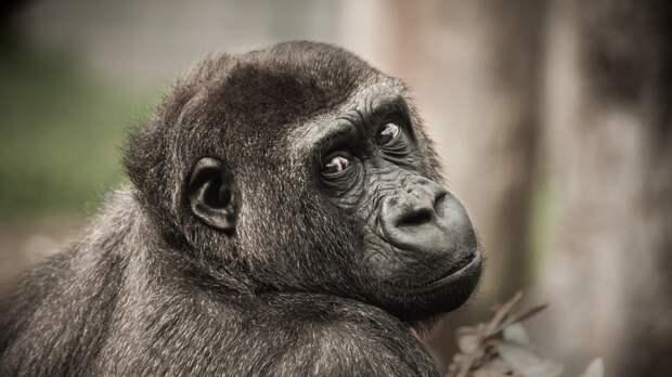 Ученые не нашли связи между размером мозга приматов и их социальной активностью