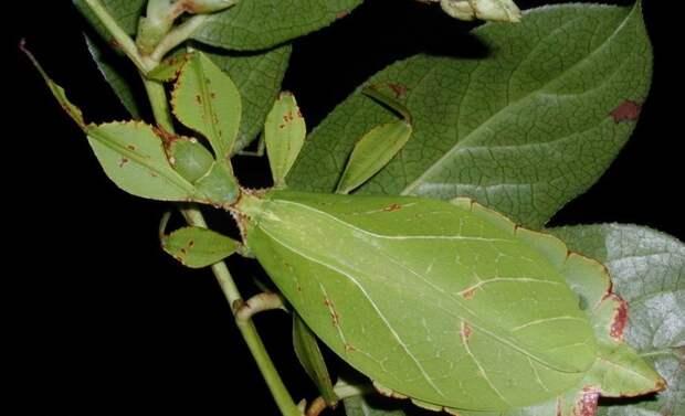 Палочники-листики насекомые, палочники, привиденьевые