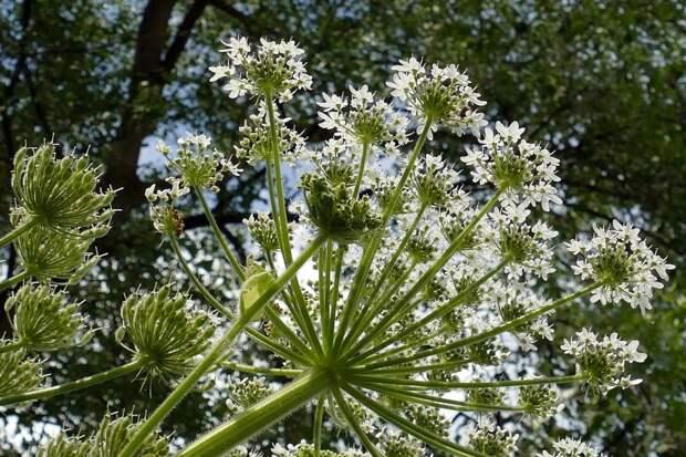Разрастаясь, борщевик вытесняет другие растения/ Фотобанк