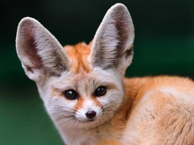 Оказалось, такие кармашки есть не только у кошек, но и у многих других животных: летучих мышей, лисиц и даже некоторых пород собак. В английском языке у этой анатомической особенности даже есть специальное наименование — henry's pocket! животные, интересное, кошки