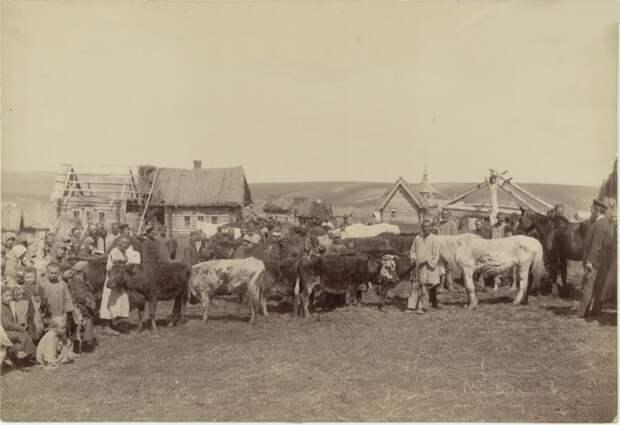 Крестьянское стадо в деревне Кадомке Сергачского уезда.