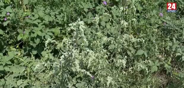 «Осторожно, амброзия»: Как борются с опасным сорняком в Симферополе