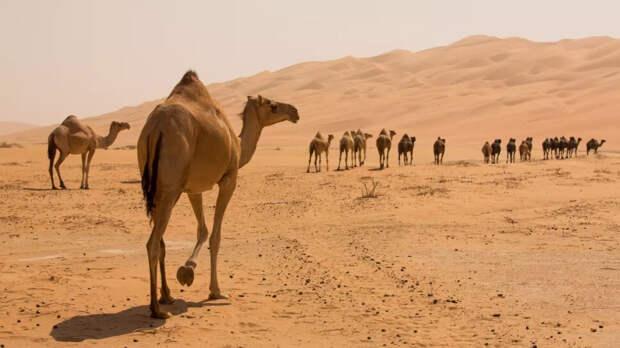 У верблюдов действительно есть вода в горбах?