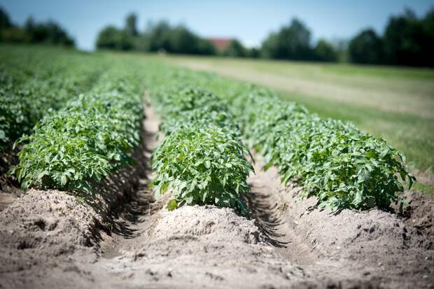 В Удмуртии на месяц раньше срока отцвела картошка