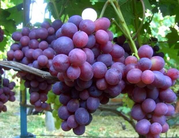 Каждая гроздь − по три килограмма!