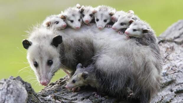 Трудно быть матерью-одиночкой! Многодетная мама-опоссум стойко несет всех своих детей