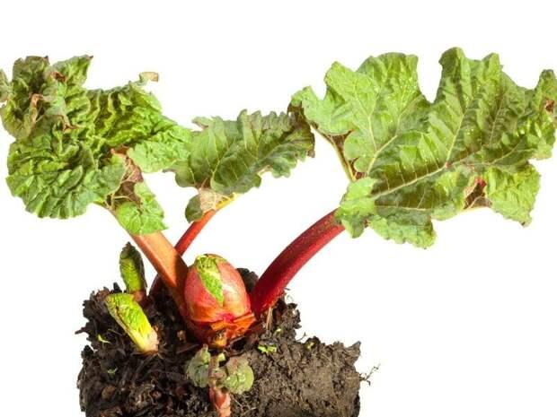 ревень - овощ открытого грунта