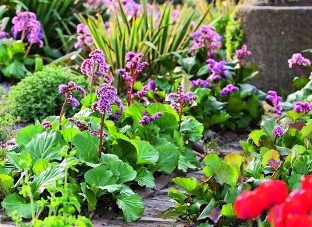 Бадан - отличное бордюрное растение. Особенно он хорош в цветниках, разбитых вдоль дорожек.