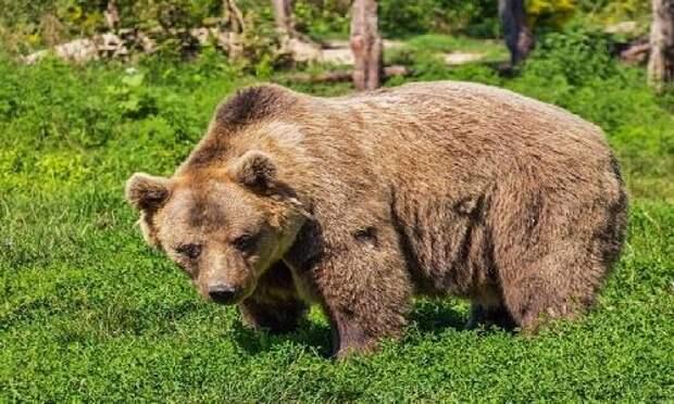83-летняя женщина сутки отгоняла медведя громким рыком
