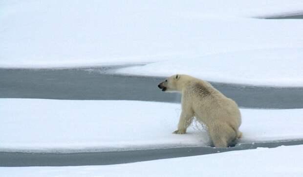 Ученые второй год подряд исследуют численность белых медведей вАрктике
