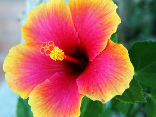 Гибискус: сочетание красоты и пользы