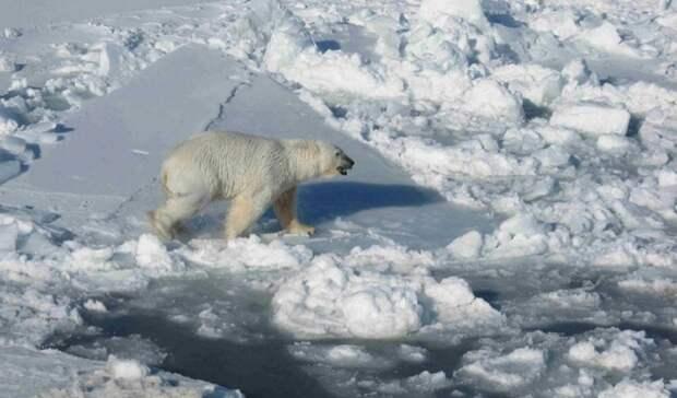 Начался второй этап экспедиции поисследованию белых медведей