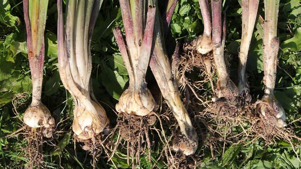 Когда выкапывать гладиолусы и как правильно хранить их луковицы зимой