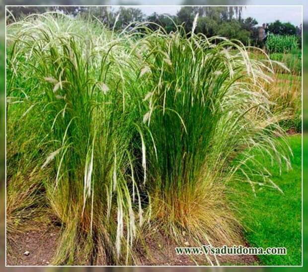 Семейство злаков: использование этих трав в ландшафтном дизайне сада