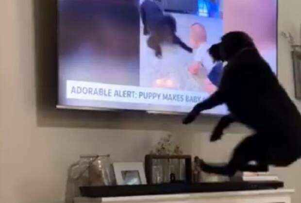 Увидев себя по телевизору, пес так удивительно отреагировал, что хозяйке пришлось снять его на видео