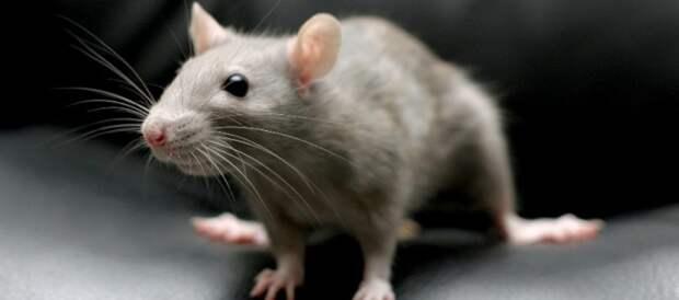 Крысы могут предсказывать погоду благодаря своим усам
