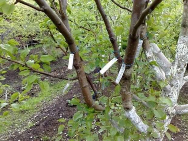 Таблички на ветках привитого дерева
