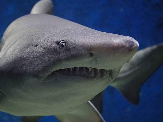 Акула может укусить человека, перепутав его с тюленем