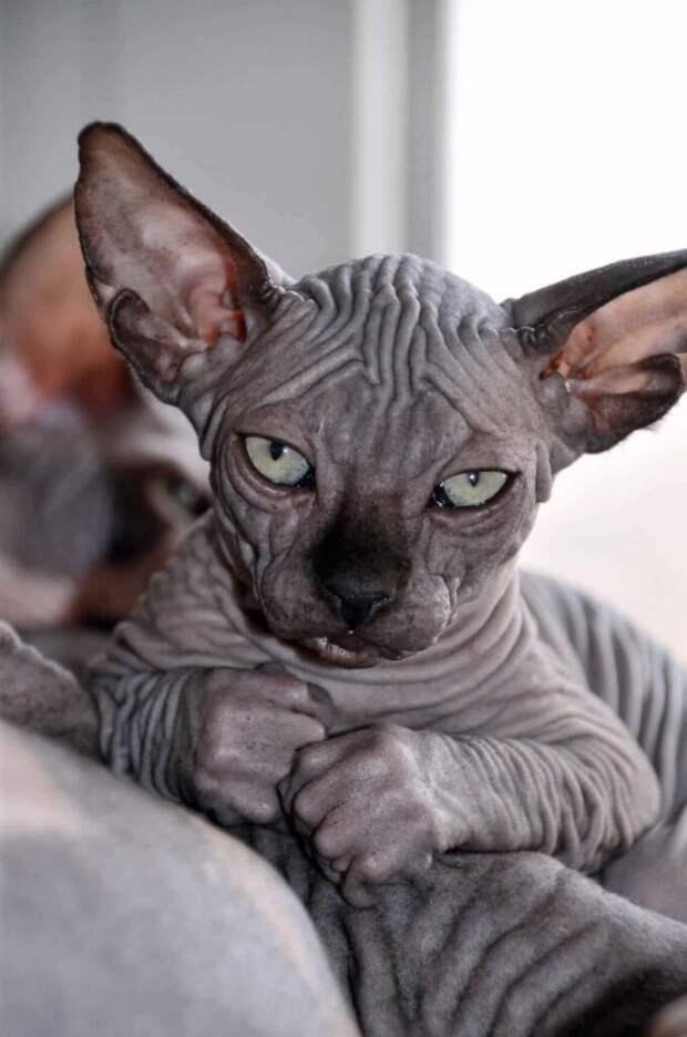Котёнок канадского сфинкса напугал моего жениха, и тот отказался от свадьбы