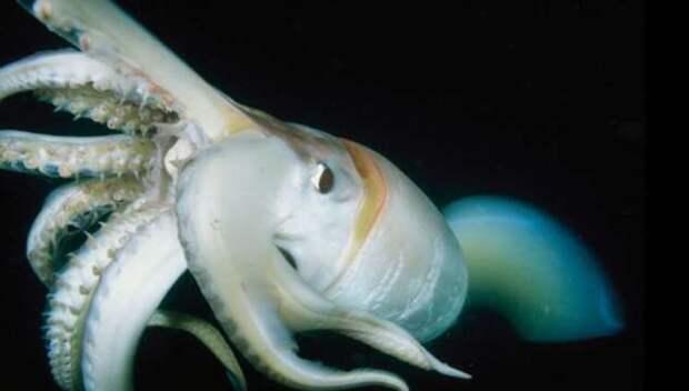 Самые большие кальмары в мире достигают 14-метровой длины. Почему мало кто видел их живыми? (7 фото+ видео)