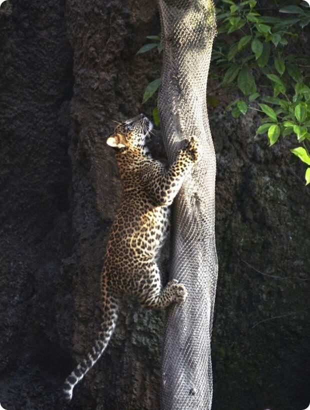 Биопарк Валенсия представил детеныша цейлонского леопарда