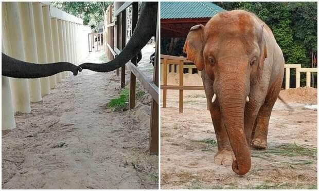 """""""Самый одинокий слон в мире"""" впервые за много лет влюбился"""